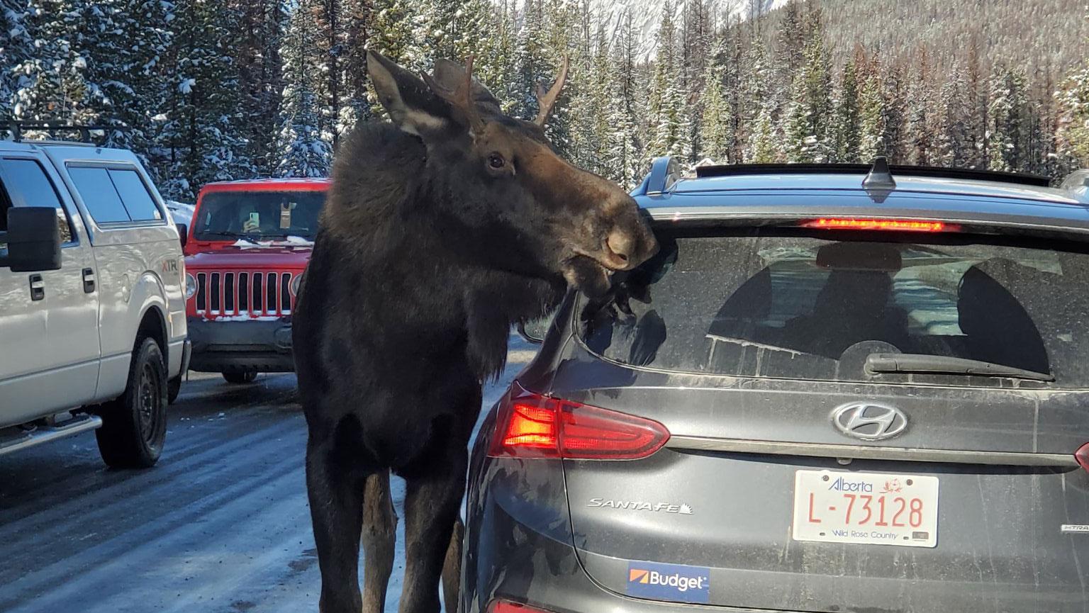 Канада има сериозен проблем: Лосовите на патиштата ги лижат автомобили покриени со сол! / ВИДЕО